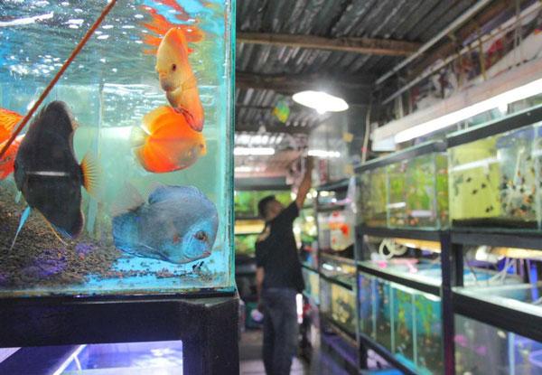 Usaha Ikan Hias, Ikan Cantik Rejeki Cantik
